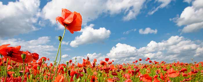 field of poppies for mindfulness meditation