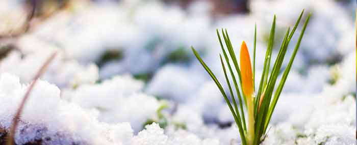 crocus bud in winter