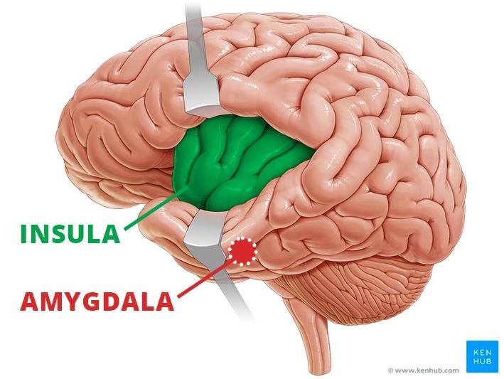 insula and amygdala